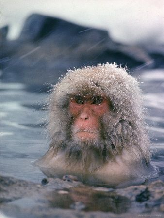 Science - monkey in hot spring